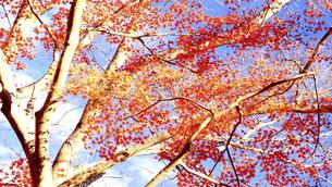 奈良県の紅葉の写真素材 [FYI04922219]
