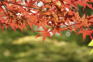 山中湖畔の紅葉の写真素材 [FYI04922222]