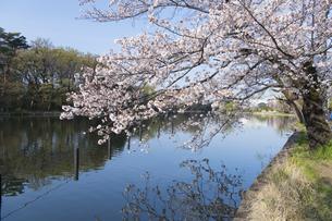 石神井公園の桜の写真素材 [FYI04922297]