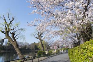 石神井公園の桜の写真素材 [FYI04922301]