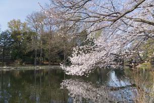 石神井公園の桜の写真素材 [FYI04922307]