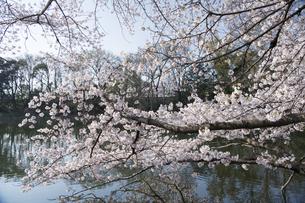 石神井公園の桜の写真素材 [FYI04922308]