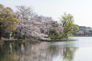 石神井公園の桜の写真素材 [FYI04922311]
