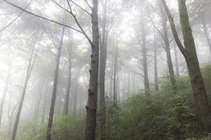 霧のツガ林の写真素材 [FYI04922400]