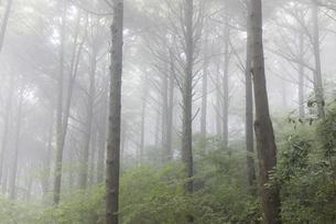 霧のツガ林の写真素材 [FYI04922401]