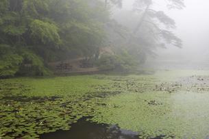 霧の池とスイレンの写真素材 [FYI04922402]