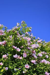 ムクゲの花の写真素材 [FYI04922692]
