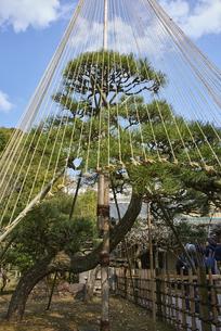雪吊りされた松の木の写真素材 [FYI04923141]