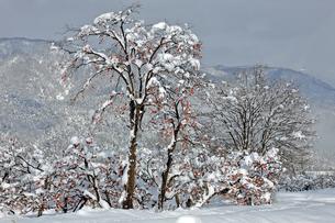 1月 琵琶湖北部の残り柿の写真素材 [FYI04923206]