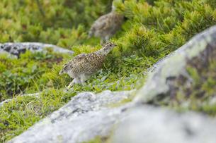 中央アルプスに生息する雷鳥の雛(木曽駒ヶ岳馬の背付近)の写真素材 [FYI04923393]