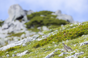 中央アルプスに生息する雷鳥(木曽駒ヶ岳馬の背付近)の写真素材 [FYI04923394]