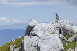 中央アルプスに生息する雷鳥(木曽駒ヶ岳馬の背付近)の写真素材 [FYI04923400]