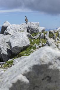 中央アルプスに生息する雷鳥(木曽駒ヶ岳馬の背付近)の写真素材 [FYI04923402]