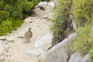 中央アルプスに生息する雷鳥の雛(木曽駒ヶ岳馬の背付近)の写真素材 [FYI04923404]