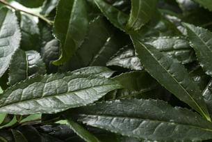 生茶葉の集合の写真素材 [FYI04923792]