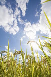 実った稲穂と青空と太陽の写真素材 [FYI04924283]