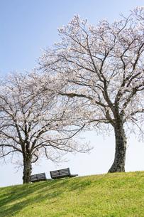 桜並木と2脚のベンチの写真素材 [FYI04924319]