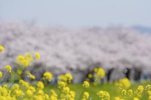 菜の花と桜並木 草場川 福岡県の写真素材 [FYI04924386]