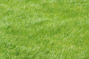 風になびく新緑の牧草の写真素材 [FYI04924404]