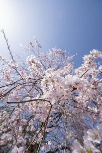 しだれ桜と青空の写真素材 [FYI04924406]