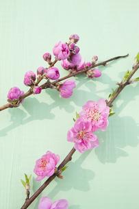 桃の花の写真素材 [FYI04924638]