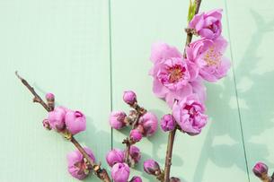 桃の花の写真素材 [FYI04924639]