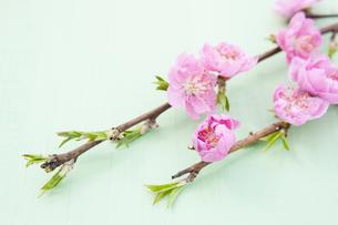 桃の花の写真素材 [FYI04924641]