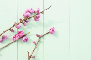 桃の花の写真素材 [FYI04924642]