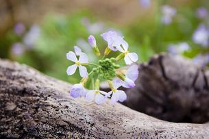 野大根の花の写真素材 [FYI04924676]
