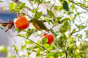 柿を啄むメジロの写真素材 [FYI04924892]