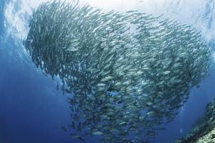 ギンガメアジの群れの写真素材 [FYI04924929]