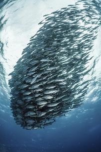 ギンガメアジの群れの写真素材 [FYI04925001]