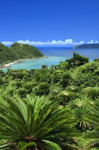 奄美群島国立公園のソテツ群生の写真素材 [FYI04925163]