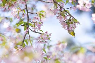 名古屋市大寒桜並木道の桜とメジロの写真素材 [FYI04925208]