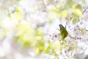 名古屋市大寒桜並木道の桜とメジロの写真素材 [FYI04925209]