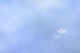 ネモフィラの花の写真素材 [FYI04925214]