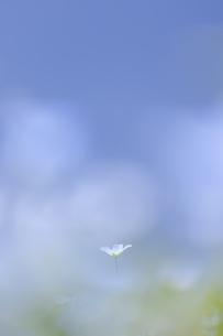 ネモフィラの花の写真素材 [FYI04925215]