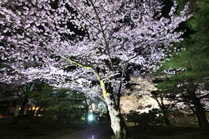 北陸金沢 兼六園の夜桜 春の段の写真素材 [FYI04925283]
