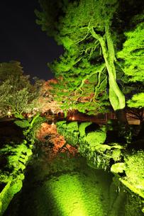 北陸金沢 兼六園の松と夜桜 春の段の写真素材 [FYI04925284]