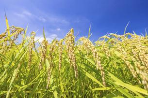 【農業】稲の穂が実っている風景 米の写真素材 [FYI04925298]