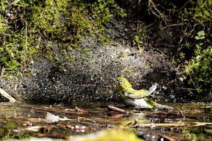 水浴びをするメジロの写真素材 [FYI04925337]