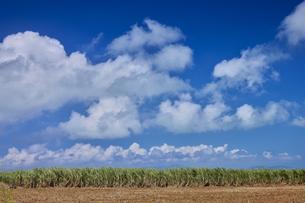 小浜島のさとうきび畑の写真素材 [FYI04925587]