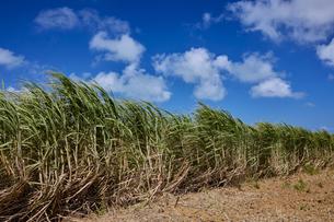 小浜島のさとうきび畑の写真素材 [FYI04925590]