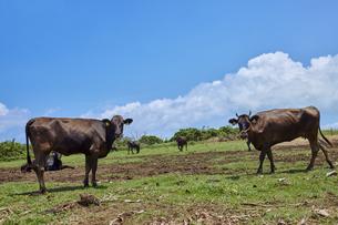 小浜島と牛の写真素材 [FYI04925595]