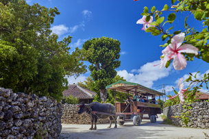竹富島の水牛車の写真素材 [FYI04925625]