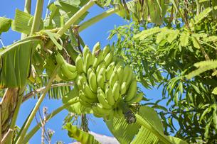 島バナナの写真素材 [FYI04925627]