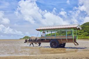 由布島と西表島の間を行き交う水牛車の写真素材 [FYI04925674]