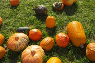 収穫祭に集められた様々な種類のカボチャの写真素材 [FYI04925735]