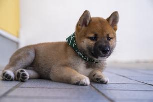 柴犬の写真素材 [FYI04925738]