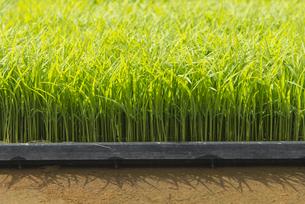 稲を育苗箱で育てるの写真素材 [FYI04925799]